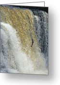 Animal Life Cycles Greeting Cards - A Leaping Salmon Jumps Up A Waterfall Greeting Card by Paul Nicklen