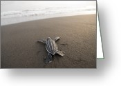 Sea Turtles Greeting Cards - A Leatherback Sea Turtle Hatchling Greeting Card by Joel Sartore