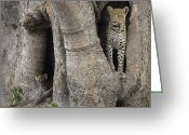 Leopards Greeting Cards - A Leopard And Cub Inside A Giant Baobab Greeting Card by Beverly Joubert