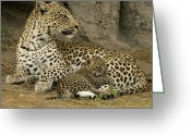 Leopards Greeting Cards - A Leopard Cub With Her Mother Greeting Card by Beverly Joubert