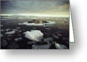 Ice Floes Greeting Cards - A Leopard Seal, Hydrurga Leptonyx Greeting Card by Bill Curtsinger