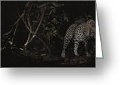 Prowling Greeting Cards - A Leopard Silently Prowls Deep Greeting Card by Michael Nichols