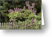 Wood Fences Greeting Cards - A lilac tree grows near Greeting Card by Anne Keiser