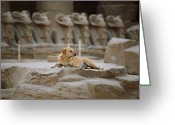 Domestic Scenes Greeting Cards - A Local Stray Dog Pausing To Rest Greeting Card by Stephen St. John