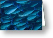 Barracuda Greeting Cards - A Lone Barracuda In A School Greeting Card by David Doubilet