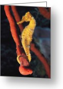 Cayman Greeting Cards - A Longsnout Seahorse, Hippocampus Greeting Card by Bill Curtsinger