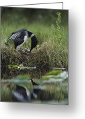 Animal Life Cycles Greeting Cards - A Loon Raises Itself To Turn Its Eggs Greeting Card by Michael S. Quinton