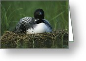 Animal Life Cycles Greeting Cards - A Loon Shelters A Chick Under Its Wing Greeting Card by Michael S. Quinton