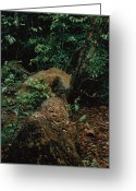 Prowling Greeting Cards - A Male Jaguar Prowling His Territory Greeting Card by Steve Winter