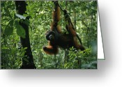 Orangutans Greeting Cards - A Male Orangutan Feeds On Fresh Fruit Greeting Card by Tim Laman