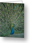 Displays Greeting Cards - A Male Peacock Spreads His Beautiful Greeting Card by David Evans