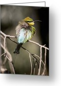 Waterhole Greeting Cards - A Male Rainbow Bee Eater Greeting Card by Jason Edwards