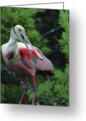 Roseate Spoonbill Greeting Cards - A Male Roseate Spoonbill Is In Breeding Greeting Card by Joel Sartore