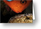 Animal Life Cycles Greeting Cards - A Male Tomato Clownfish Tends Greeting Card by David Doubilet