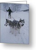 Domestic Scenes Greeting Cards - A Man Skijoring With His Dogs Greeting Card by Bill Curtsinger