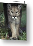 Puma Greeting Cards - A Mesmerising Glare Of A Stalking Puma Greeting Card by Jason Edwards