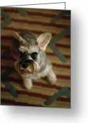 Rugs Greeting Cards - A Miniature Schnauzer Dog Looks Greeting Card by Justin Guariglia