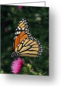 Thistle Greeting Cards - A Monarch Butterfly Sits On A Thistle Greeting Card by George Grall