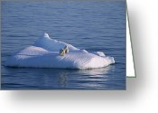Ice Floes Greeting Cards - A Mother And Her Two Year Old Cub On An Greeting Card by Paul Nicklen