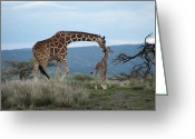 Caring Greeting Cards - A Mother Giraffe Nuzzles Her Baby Greeting Card by Pete Mcbride