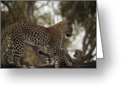 Leopards Greeting Cards - A Mother Leopard Playing Greeting Card by Beverly Joubert