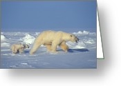 Responsibility Greeting Cards - A Mother Polar Bear Leads Her Cubs Greeting Card by Nick Norman