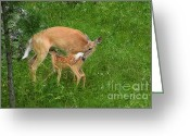 Feeding Greeting Cards - A Mothers Love - Doe and Fawn Greeting Card by Christine Till