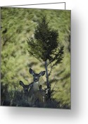 Animal Life Cycles Greeting Cards - A Mule Deer Doe Is Flanked By Her Twin Greeting Card by Michael S. Quinton