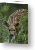 Animal Life Cycles Greeting Cards - A Mule Deer Fawn Peeks Through Branches Greeting Card by Tom Murphy