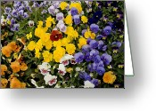 Albuquerque Greeting Cards - A Multi-colored Bed Of Pansies In Old Greeting Card by Stephen St. John