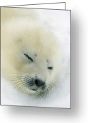 Precipitation Greeting Cards - A  Newborn Harp Seal Pup In Its Thin Greeting Card by Norbert Rosing