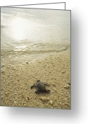 Sea Turtles Greeting Cards - A Newly Hatched Green Sea Turtle Making Greeting Card by Tim Laman