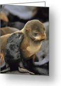 Animal Life Cycles Greeting Cards - A Northern Fur Seal Pup Nuzzles Greeting Card by Joel Sartore