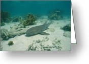 Key West Island Greeting Cards - A Nurse Shark Rests On The Sea Floor Greeting Card by Wolcott Henry