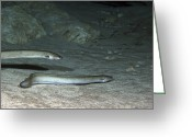 Red Bay Greeting Cards - A Pair Of American Eels Patrol Greeting Card by Terry Moore