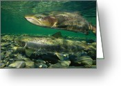 Animal Life Cycles Greeting Cards - A Pair Of Atlantic Salmon Paired Greeting Card by Paul Nicklen