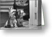 Terriers Greeting Cards - A Pair Of Australian Silky Terriers Greeting Card by Willard Culver