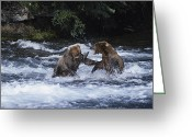 River Scenes Greeting Cards - A Pair Of Grizzly Bears Ursus Arctos Greeting Card by Paul Nicklen