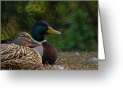Mallards Greeting Cards - A Pair of Mallards Greeting Card by Ernie Echols