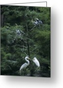 Great Egrets Greeting Cards - A Pair Of Nesting Great Egrets Greeting Card by Taylor S. Kennedy