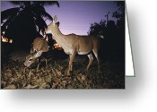 Florida Key Deer Greeting Cards - A Pair Of Rare Key Deer Foraging Greeting Card by Joel Sartore
