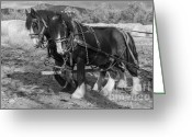 Plowing Greeting Cards - A Pair of Shire Horses Greeting Card by Fran Riley