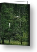 Animal Life Cycles Greeting Cards - A pair of snowy egrets Greeting Card by Taylor S. Kennedy