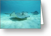 Cayman Greeting Cards - A Pair Of Southern Stingrays Swim Greeting Card by Raul Touzon