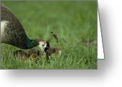Mother Of Four Greeting Cards - A Peahen And Her Chicks Greeting Card by Joel Sartore