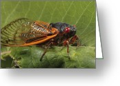 Cicada Greeting Cards - A Periodical Cicada Or 17 Year Cicada Greeting Card by George Grall