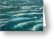 Delphinapterus Leucas Greeting Cards - A Pod Of Beluga Whales Swim Greeting Card by Norbert Rosing