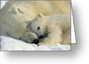 White Colors Greeting Cards - A Polar Bear And Her Cub Napping Greeting Card by Norbert Rosing