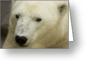 Henry Doorly Zoo Greeting Cards - A Polar Bear At The Henry Doorly Zoo Greeting Card by Joel Sartore