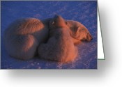 Responsibility Greeting Cards - A Polar Bear Cub Lies With Its Mother Greeting Card by Nick Norman